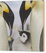 Emperor Penguin Parents With Chick Wood Print