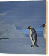 Emperor Penguins At Midnight Antarctica Wood Print