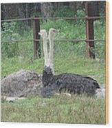 Emu Birds Wood Print