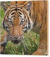 Endangered Species Sumatran Tiger Wood Print