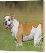English Bulldog Wood Print