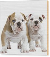 English Bulldog Puppies Wood Print