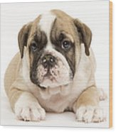 English Bulldog Puppy Wood Print