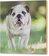English Bulldog Puppy Walking Outdoors Wood Print