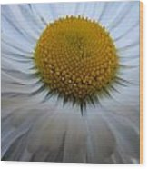 English Daisy Wood Print