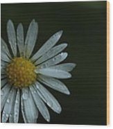 English Daisy And Rain Drops Wood Print