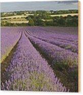 English Lavender Near Alton In Hampshire Wood Print