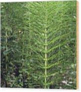 Equisetum Limosum. Wood Print
