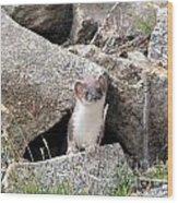 Ermine In Wildlife Wood Print