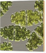 Euastrum Desmid, Light Micrograph Wood Print