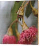 Eucalyptus Flower Wood Print