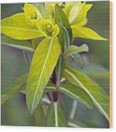 Euphorbia Cornigera 'goldener Turm' Wood Print by Science Photo Library