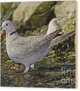 Eurasian Collared Dove Wood Print