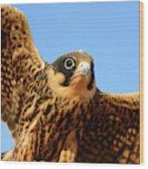 Eurasian Hobby Falco Subbuteo In Wood Print