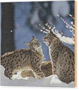 Eurasian Lynx Pair Bayerischer Wald Np Wood Print