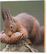 Eurasian Red Squirrel Biting Cone Wood Print by Ingo Arndt