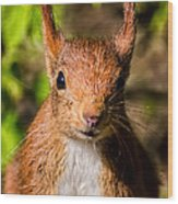 Eurasian Red Squirrel Wood Print