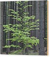 European Beech Tree In Noway Spruce Wood Print