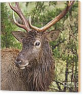 European Red Deer 1 Wood Print