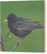 European Starling Wood Print