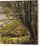 Evening Beech Wood Print