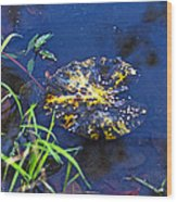 Evening Encloses The Aging Lily Pad Wood Print