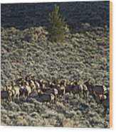 Evening Herd Of Elk   #7640 Wood Print