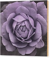Evening Lavender Rose Flower Wood Print