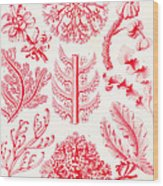 Examples Of Florideae From Kunstformen Der Natur Wood Print