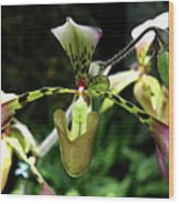 Exotic Ladyslipper Wood Print