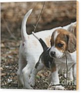 Exploring Beagle Pups Wood Print