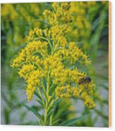 Exploring Goldenrod 3 Wood Print