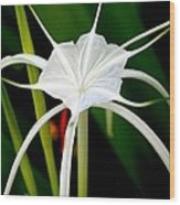 Exquisite Spider Lily Wood Print