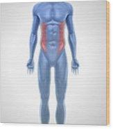 External Oblique Muscles Wood Print