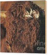 Face Of A Cow Salers. Auvergne . France Wood Print by Bernard Jaubert