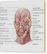 Facial Muscles Of The Human Face Wood Print