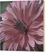 Faded Pink Dahlia Wood Print