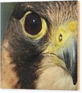 Falcon Focus Wood Print