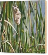 Fall Cattail Wood Print