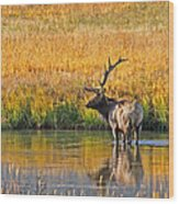 Fall Elk Reflection Wood Print