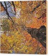 Fall Poplar Leaves Yellows Oranges 2899 Wood Print