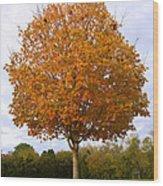 Fall Sugar Maple Wood Print