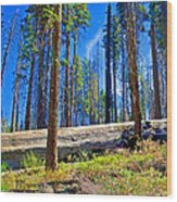 Fallen Sequoia In Mariposa Grove In Yosemite National Park-california Wood Print