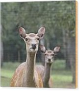 fallow deer Hochwildpark Rhineland Kommern Mechernich Germany Wood Print