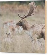 Fallow Deer Buck Wood Print