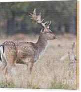 Fallow Deer Buck On Guard  Wood Print