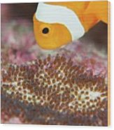 False Clown Anemonefish Tending Its Eggs Wood Print