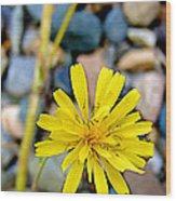 False Dandelion Or Cat's Ear In Five Finger Rapids Recreation Site Along Klondike Hwy-yt  Wood Print