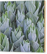 False Hellebore With Frost Colorado Wood Print