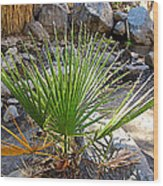 Fan Palm Leaf Over Andreas Creek In Indian Canyons-ca Wood Print